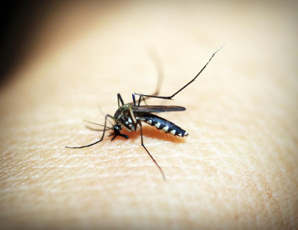 Aedes Aegypti: zanzara della febbre gialla